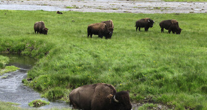 Montana governor allows bison to roam outside Yellowstone