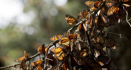 In Mexico, hopes of uptick in dwindling Monarch butterfly migration