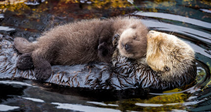 Monterey Bay Aquarium welcomes fuzzy newborn otter (+photos)