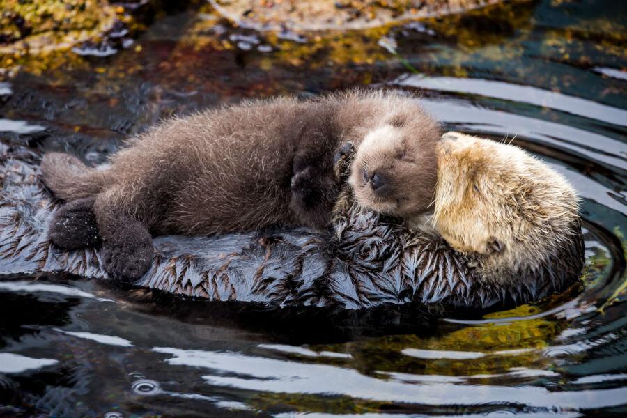 monterey bay aquarium welcomes fuzzy newborn otter photos
