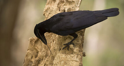 Inventive crows caught on camera making tools