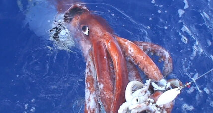 The Kraken appeareth: Giant squid filmed on Christmas Eve