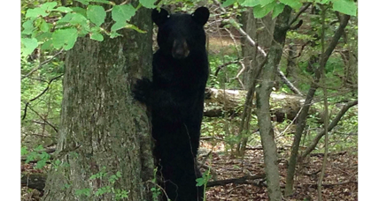 Tensions remain high over New Jersey bear hunt