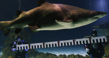 Tiger shark nursery found near New York City