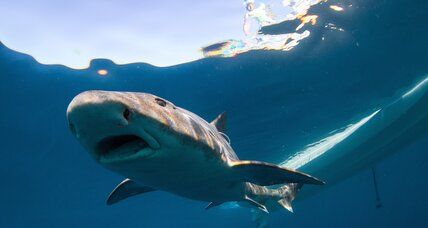 Leopard sharks find their way with their noses, say scientists