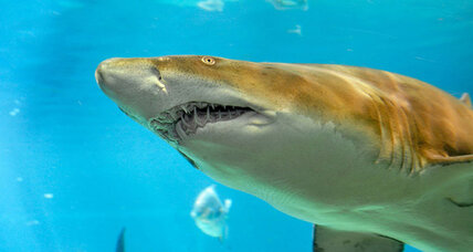 Researchers discover sand shark nursery off New York City