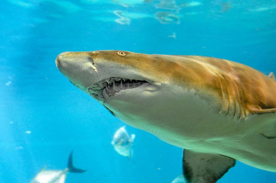 Researchers discover sand shark nursery off new york city researchers discover sand shark nursery off new york city publicscrutiny Image collections