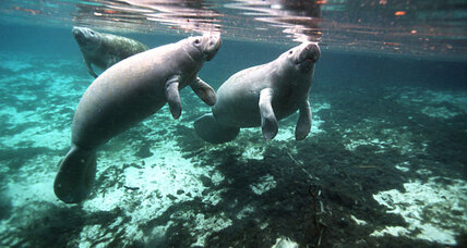 Are Florida's manatees no longer endangered?