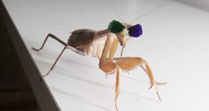 Insect cinema? Why scientists make little 3D glasses for praying mantises