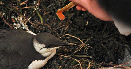 Unraveling the mystery of the massive Alaskan seabird die-off