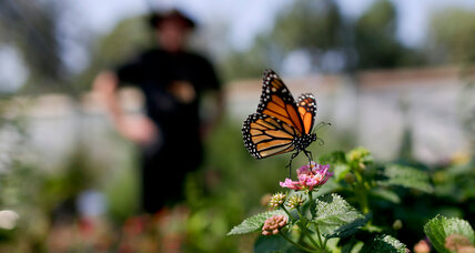 Can lawsuits save the monarch butterfly?