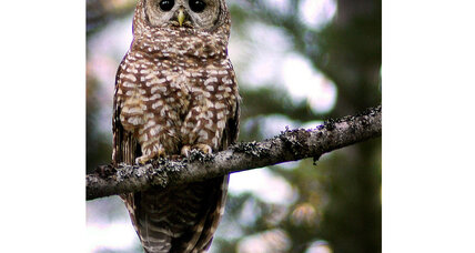 Can we save the California Spotted Owl?