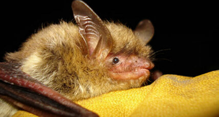 What the government is doing to save America's imperiled bats