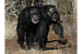 Chimps form friendships based on trust: The banana-sharing test