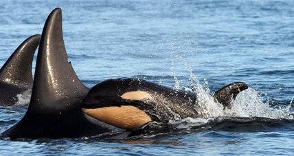 Europe's orcas are at risk of extinction. Can anything be done to save them?