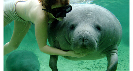 Why Florida's manatee population is rebounding