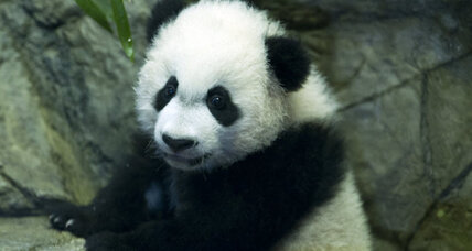 Bei Bei the panda cub makes public debut at National Zoo