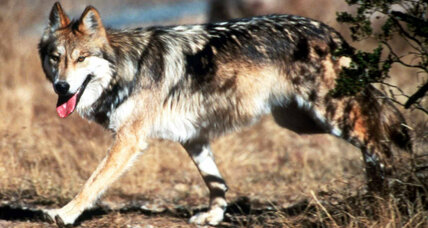 Suspicion over federal wolf plan spreads to Colorado, Utah