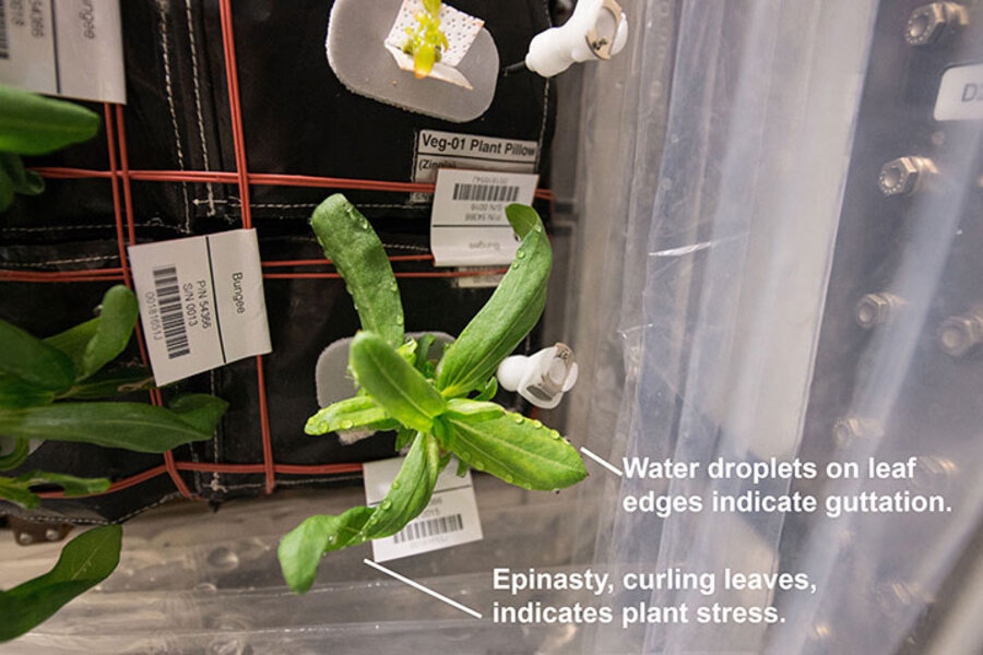 Zinnias bloom on space station: What does it take to grow ... on aster plants, pentas plants, dahlia plants, verbena plants, rose plants, lantana plants, hibiscus plants, tulip plants, calendula plants, geranium plants, honeysuckle plants, salvia plants, nasturtium plants, yucca plants, garden plants, sweet pea plants, cosmos plants, peruvian lily plants, dill plants, begonia plants,