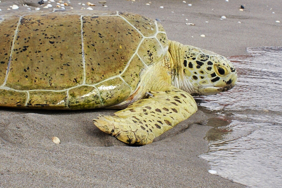Why are these sea turtles flying south for the winter?