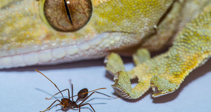 How geckos might show there's no such thing as Spiderman