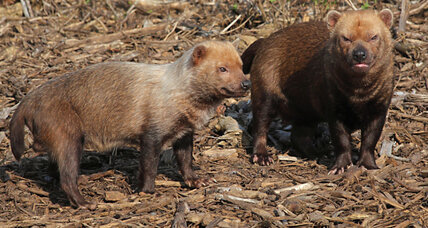 Rare and elusive bush dog caught on camera in Panama