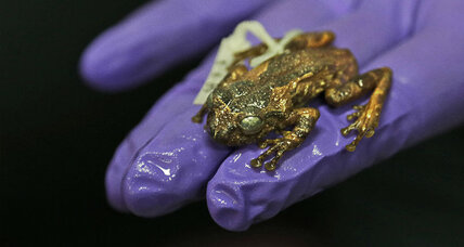 Bizarre, long-lost tree frog discovered in India: Why its habitat may be in danger