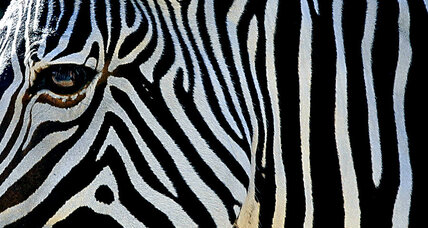 Why do zebras have stripes? It's not for camouflage, say scientists.