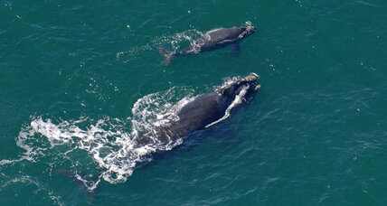 Feds set aside more habitat for right whales. But is it enough?
