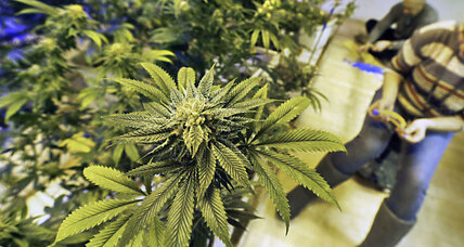 Dark marijuana: Illegal growers hide among Colorado's legit fields