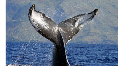 Why did feds scale back the whale sanctuary in Hawaii?