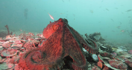 Color-coded conversation: Octopuses aren't so anti-social after all.