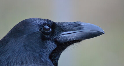 Ravens might possess a Theory of Mind, say scientists