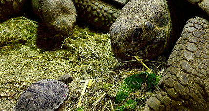 Origins of slow food movement? Human ancestors noshed on tortoise