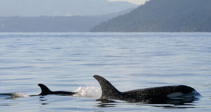 Ship noise linked to orca whale decline: Are some boats safer than others?