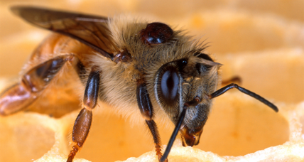 Humans have a hand in honey bee decline, say scientists. Is it too late?