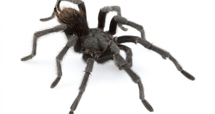 Eight-legged Johnny Cash: Tarantula spider species named for singer