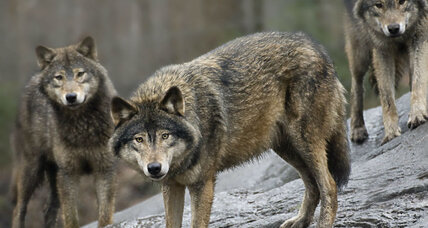 What can wolf dialects say about human language?