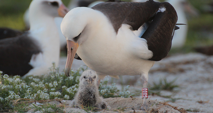 World's oldest wild bird, an albatross, just hatched 40th chick – at age 65