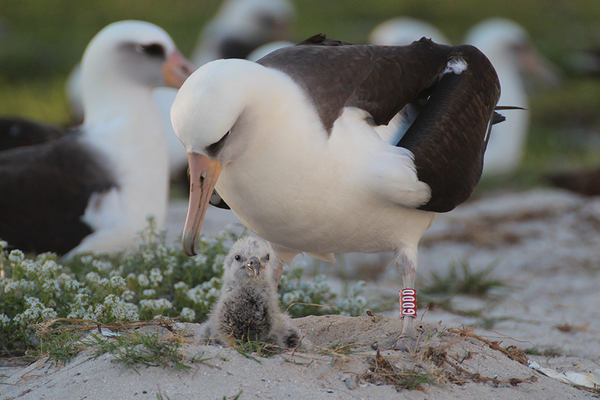World's oldest bird, an albatross, just hatched her 40th chick – at 65
