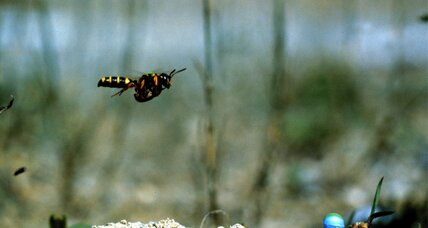 A bug's-eye view: How do wasps find their way back home?