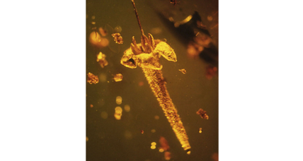 Ancient flower trapped in amber was probably poisonous, researchers say.