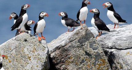 Puffin mystery solved! Scientists learn secrets of Maine birds' migration.