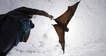 A new Batplane? Bat flight inspires micro air vehicles.