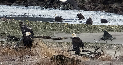 Was bald eagle convocation poisoned? $10,000 reward offered for information.