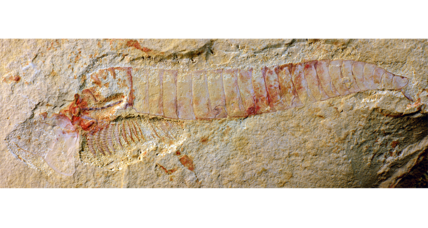 Scientists find 'exquisite' 515-million-year-old fossilized nervous system