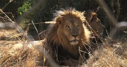 Hidden lion population found in Ethiopia
