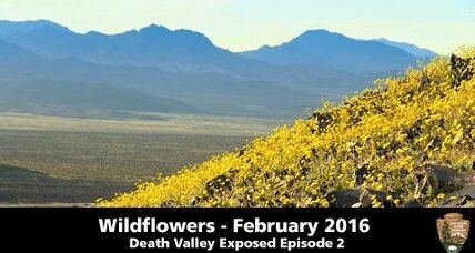 Death Valley in bloom: How driest spot in America becomes awash with color