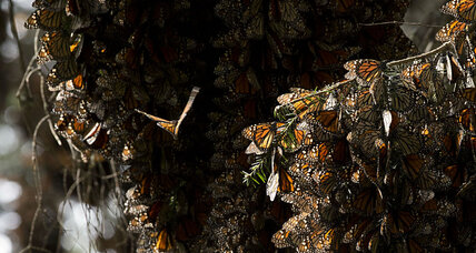 Mexico's monarch butterfly population makes a comeback. What happened?