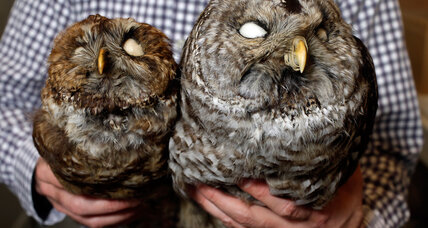 Owl wars: Biologists kill one bird to save another